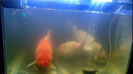 出门一个星期 西安观赏鱼信息 西安博特第1张