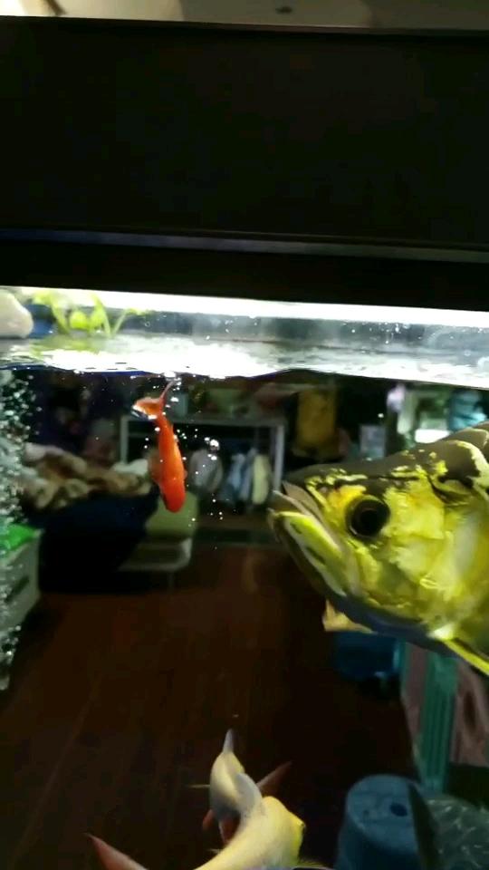 坚决不出门 西安观赏鱼信息 西安博特第1张