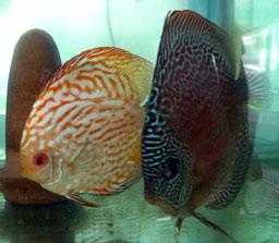 【西安伊巴卡鱼】印尼虎到底有没有24小时长明的 西安龙鱼论坛 西安博特第3张