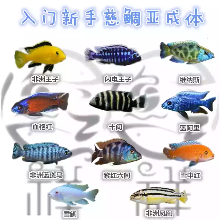 【西安水族店】哈尔滨哪有卖慈鲷的花鸟鱼市啊?